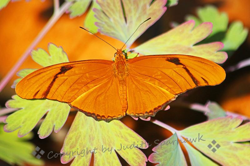 Julia Butterfly on Columbine Leaves ~