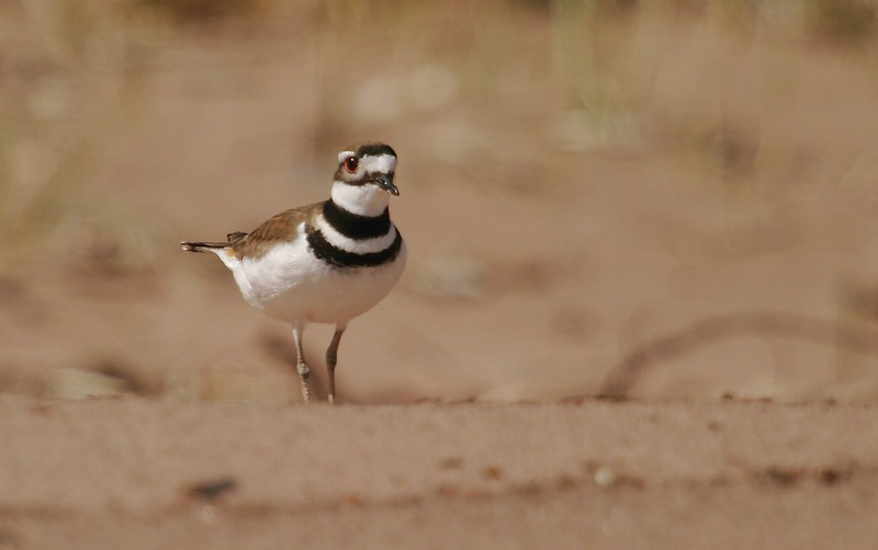 Killdeer are named for their call and are actually a species of plover [May; Park Point, Duluth, Minnesota]