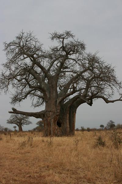 Boabab tree with large hole