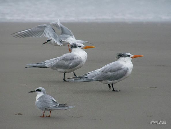 Royal Terns on Yaupon Beach - Oak Island, NC