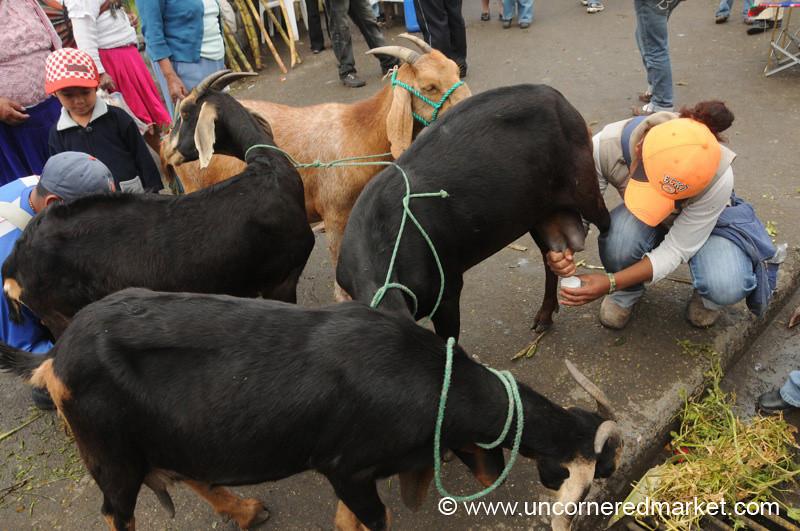 Fresh Goat Milk - Cuenca, Ecuador