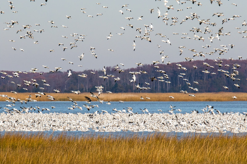 Snow Geese Bombay Hook Fall 2019-6.jpg