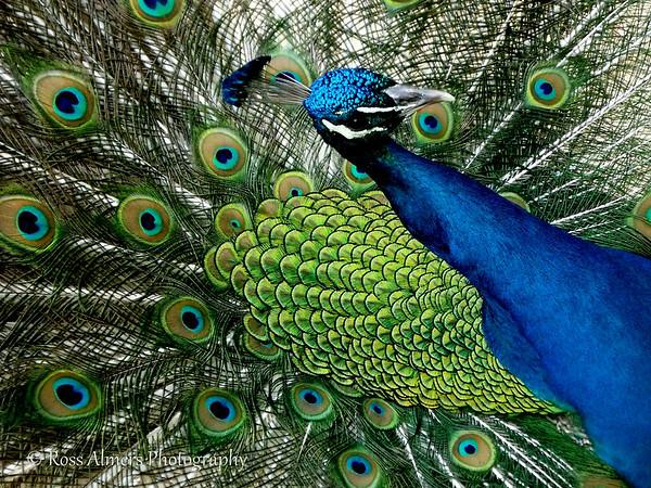 Preening Peacocks