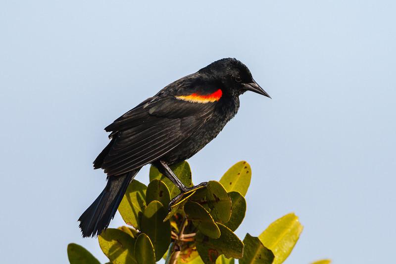 Red-winged Blackbird, Merritt Island NWR