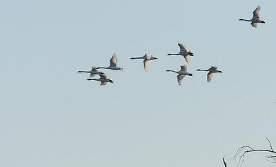 Trumpeter Swans etc at Riverlands
