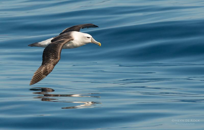 Shy Albatross, Wollongong Pelagic, NSW, Aus, Jul 2013-4.jpg