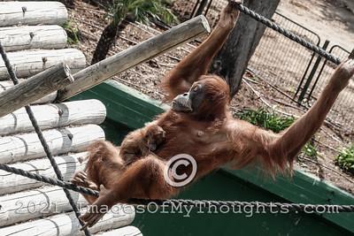 20210726 20210726 Baby Orangutan at Safari