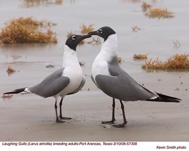 Gulls, Terns, Skimmers