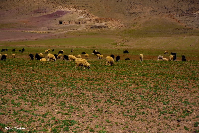 כבשים אית בן חדו.jpg