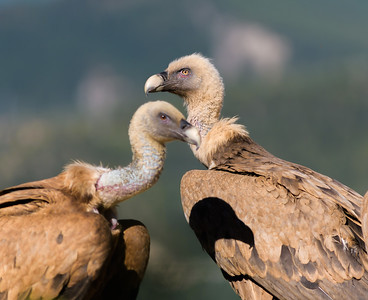 Vultures in the Spanish Pyrenees