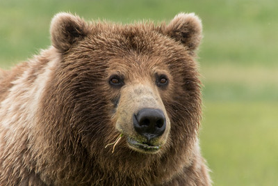 Coastal Brown Bears at Katmai