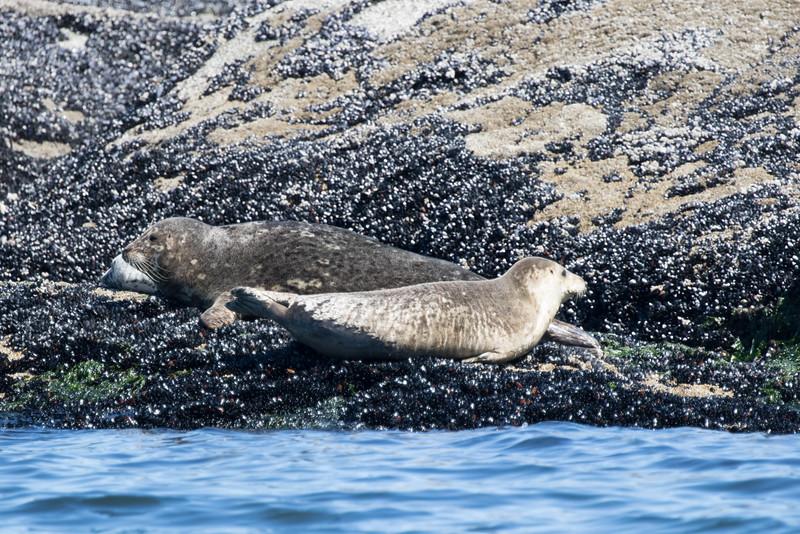 Orcas -  073115-084.jpg