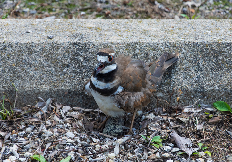 Pickle-killdeer-standingovertwoeggs.jpg
