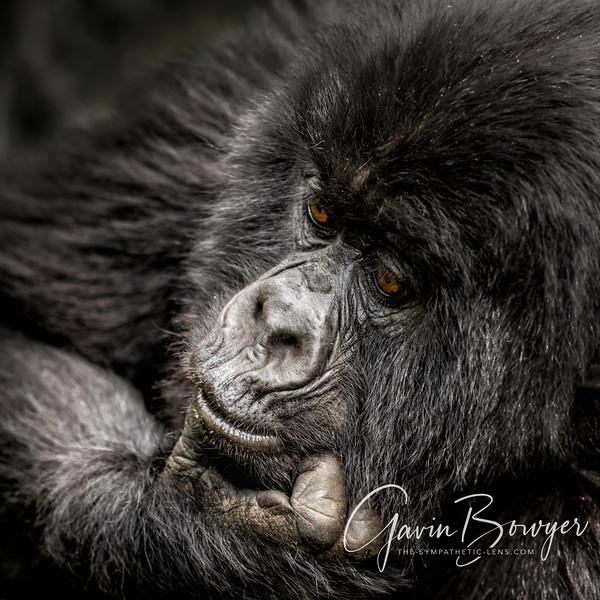 gorillas web-4.jpg