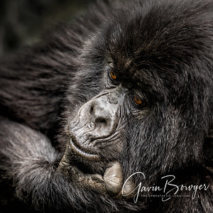 Gorilla Portraits