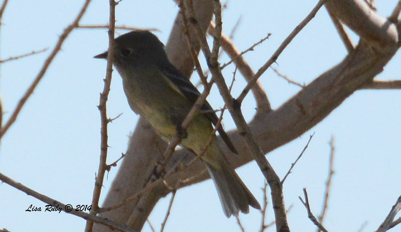 The next five photos are of the same bird. Hammond's Flycatcher?
