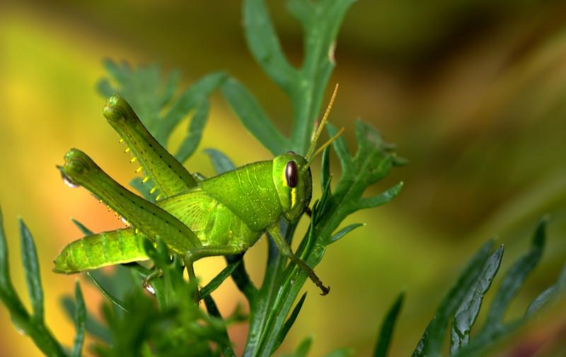 sm grasshopper.jpg