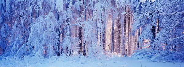 Snowy forest panorama