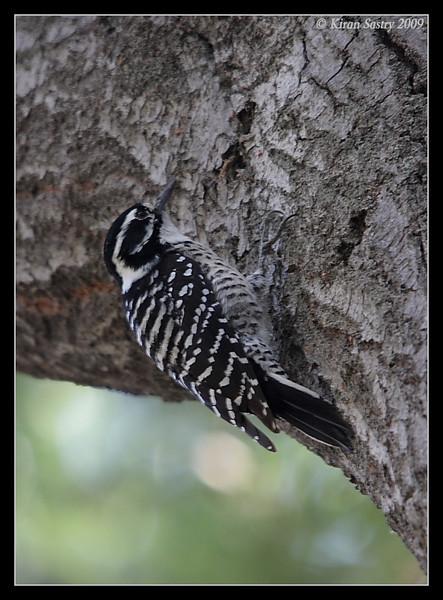 Nuttall's Woodpecker Female, Santee Lakes, San Diego County, California, October 2009
