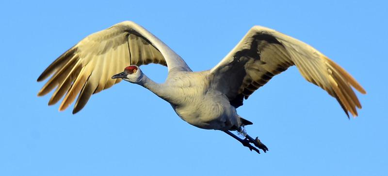 Sandhill Crane with Ice Ring on Leg