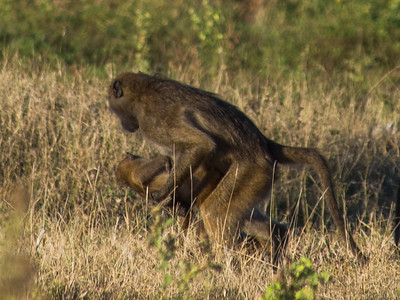 Chobe monkeys and baboons 3-28-13 to 3-30-13