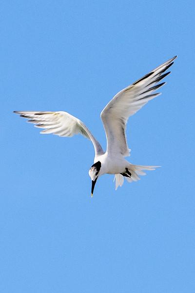 Tern - Sandwich - Blind Pass - Sanibel Island, FL
