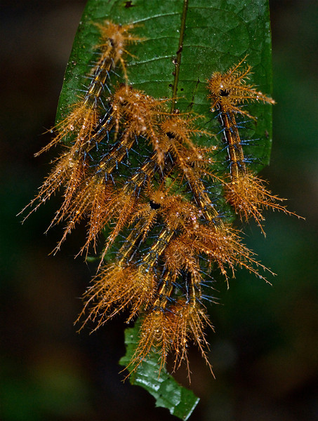 Group of spiny fern caterpillars, exact species unknown