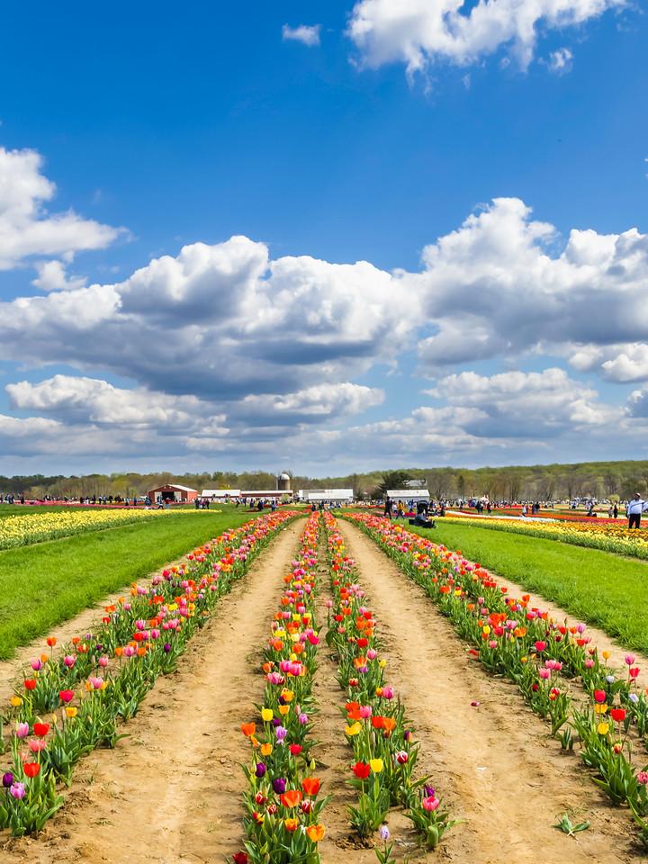荷兰岭农场(Holland Ridge Farms, NJ),满目郁金香