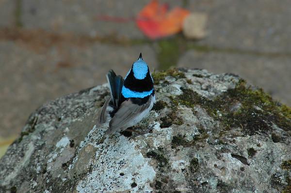 Fairywren Australia