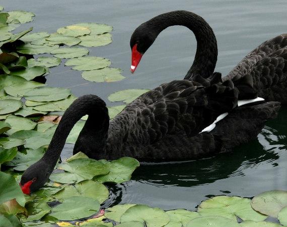 swan2small.jpg