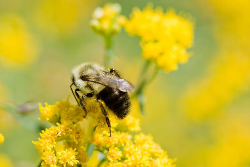 Goldenrod Bee.jpg
