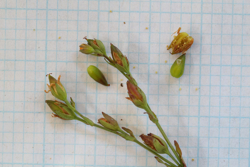 Hypericum gramineum - Seed