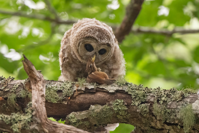 #1649 Barred Owlet with Chipmunk