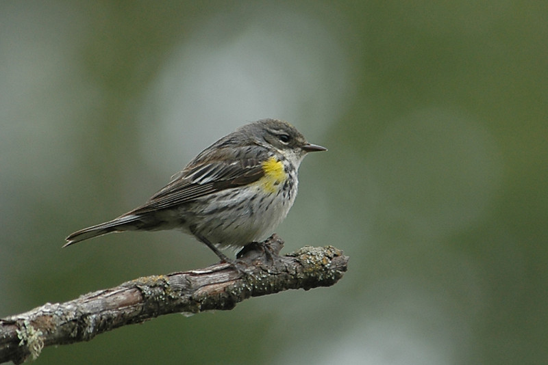 Warbler - Yellow-rumped - Itasca County, MN