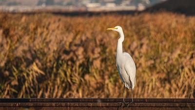 Martinez  California Birdlife