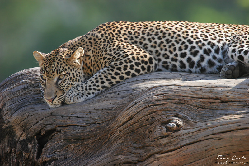 Leopard on a log