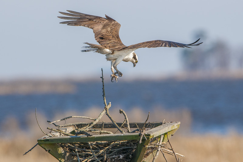 Osprey Male Dropping a Stick.jpg