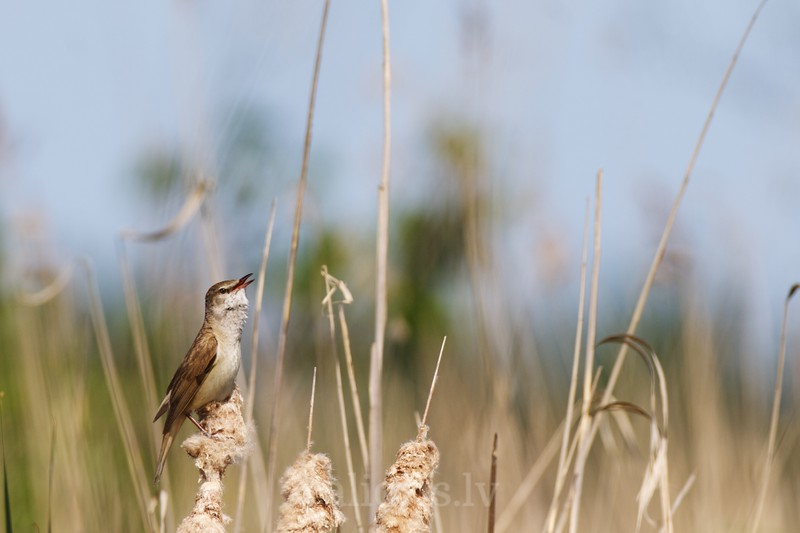 Great Reed Warbler signs perched on the top of a reed in the lake Kaņieris