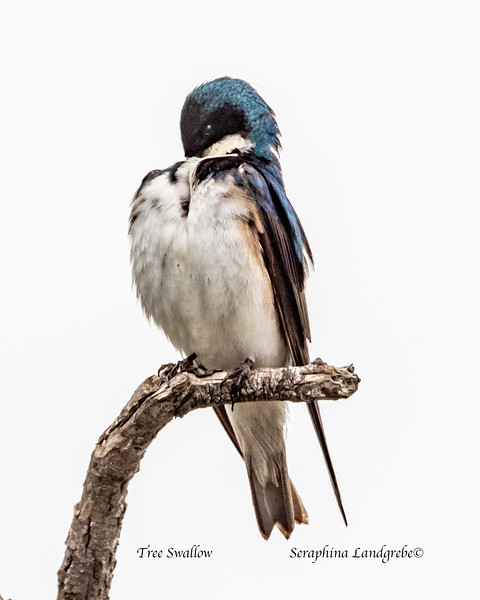_DSC9177Tree Swallow.jpg
