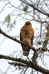 Hawk  017