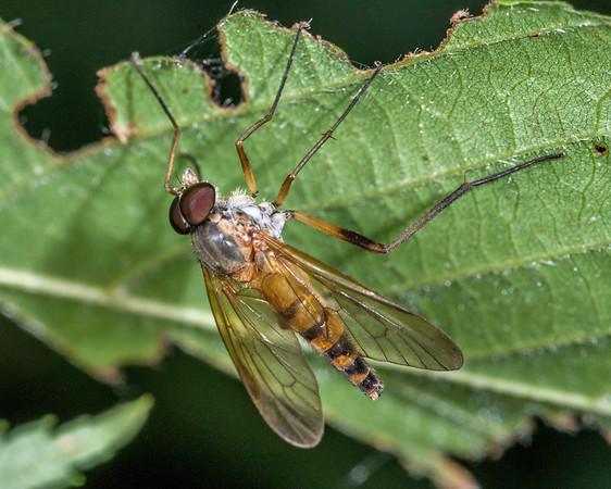 Snipe flies (Rhagionidae)
