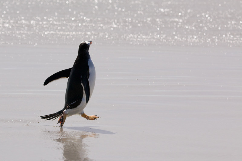 Gentoo penguin, Falkland Islands