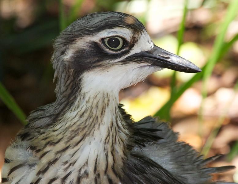 Bush stone-curlew, Beerwah, Australia