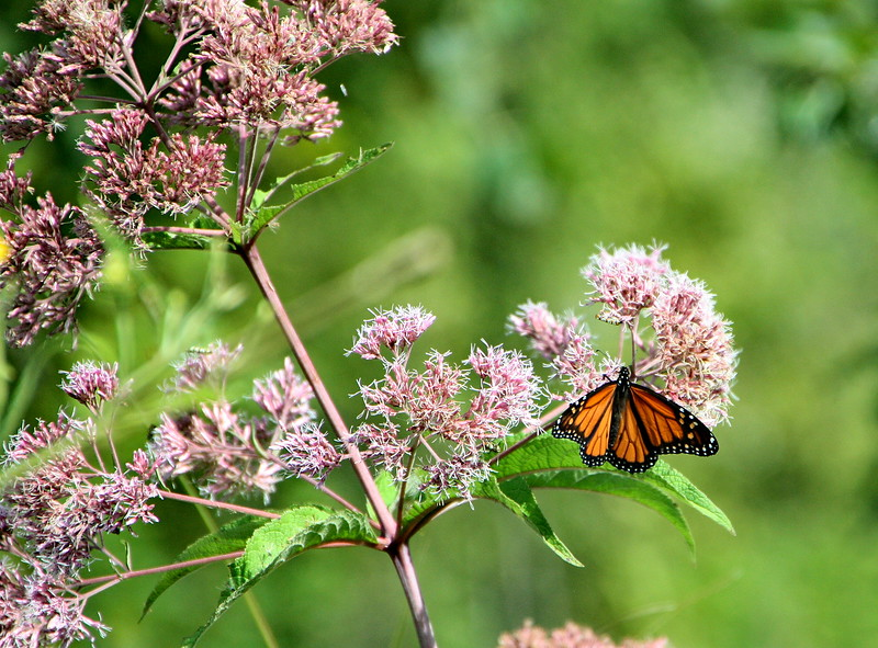 Trumpetweed and Monarch