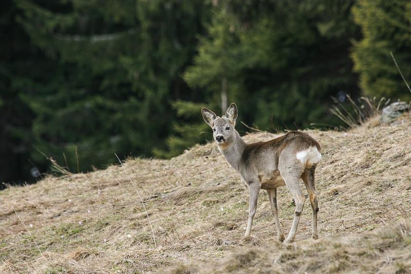 Wildtiere-Rheinwald-D-Aebli-0194.jpg
