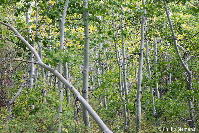 Aspen grove in Lundy Canyon