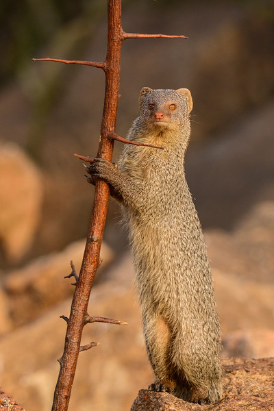 Grey-Mongoose-Hampi-2.jpg