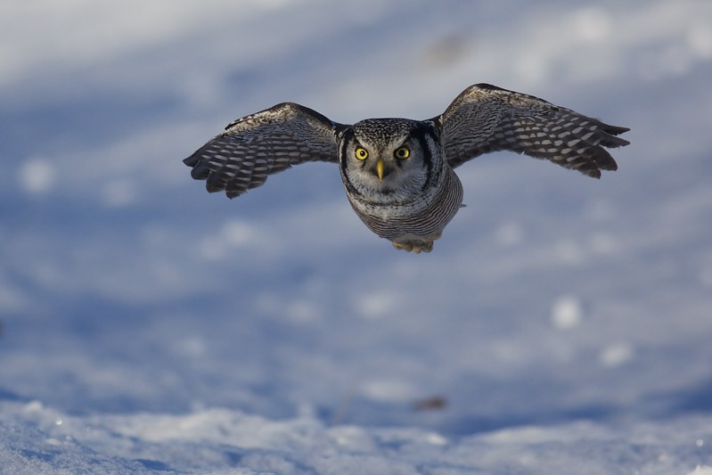 Northern Hawk Owls breed regularly in the Lower 48 only in Minnesota and Montana [December; McDavitt Road, Sax-Zim Bog, St. Louis County, Minnesota]