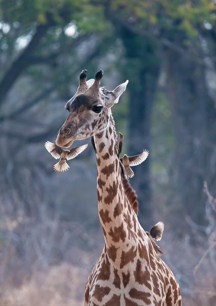 016_Giraffe & Oxpeckers.jpg