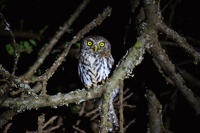 Typical Owls  - Eulen - Strigidae